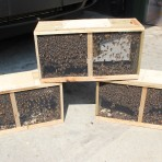 Package of Bees 3# for Gene – April 21 in Canton